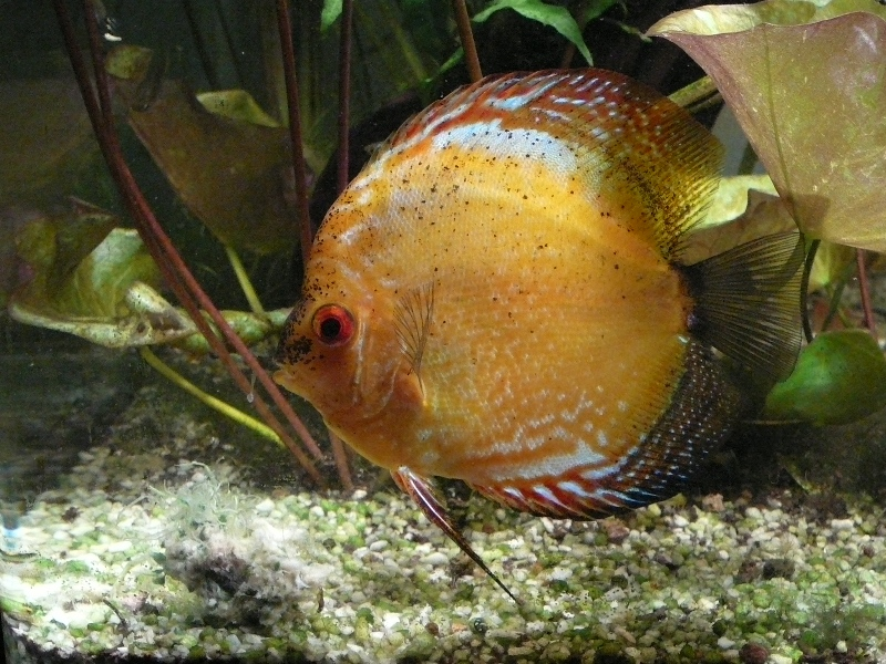 Mon Discus Orange